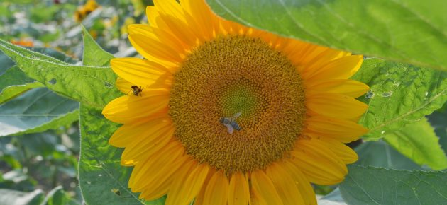 Coshocton Sunflower Festival ready to go on