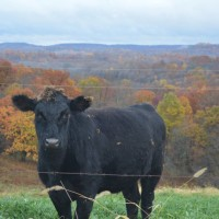 OSU Extension Ohio Beef Cattle School webinar series announced