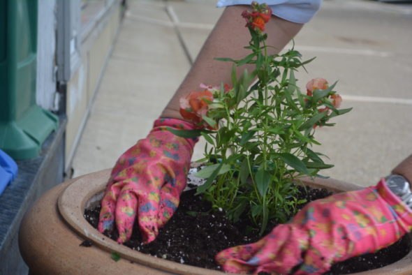 Flower pots are starting to bloom with color thanks to volunteers from Coshocton is Blooming. Josie Sellers | Beacon