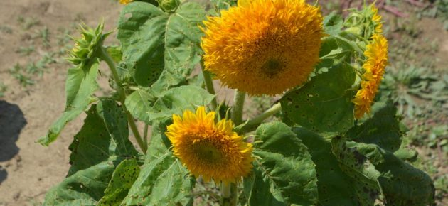 Sunflower festival spreads joy even after the event
