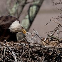 Citizen scientist census finds 707 Bald Eagle nests in Ohio
