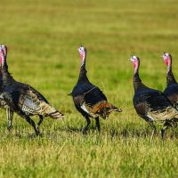 More than 1,000 wild turkeys harvested during Ohio's fall season
