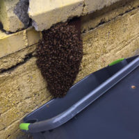 It's honeybee swarm season