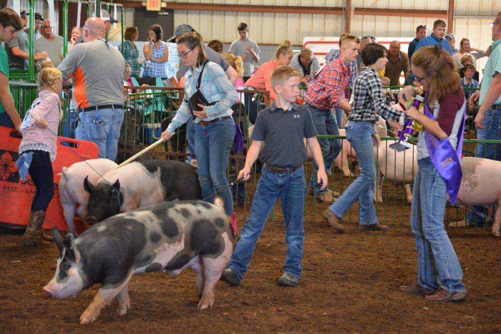 Swine Show34