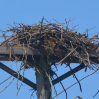 Large birds nest on US 36 is home to Ospreys