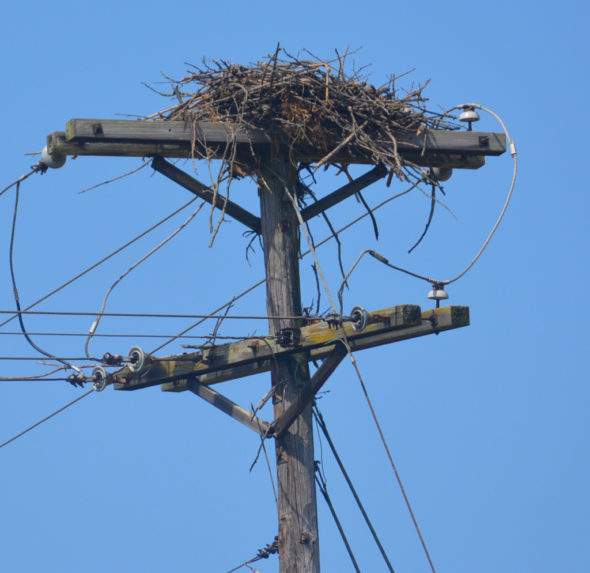 Several people have asked The Beacon about the large birds' nest on US 36. According to Wildlife Officer Jerrod Allison it is the home of Ospreys, not Eagles like many have wondered. Josie Sellers | Beacon