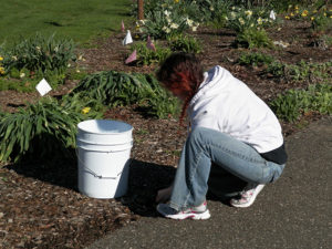 Susan Swartzentruber is pictured pulling weeds at the Friends of the Park annual clean-up day, Saturday, April 8. Jen Jones | Beacon