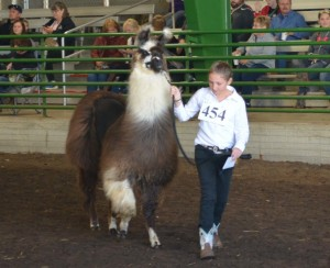Emma Ward is pictured participating in the llama show on Oct. 4, at the Coshocton County Fair. Beacon photo by Josie Sellers