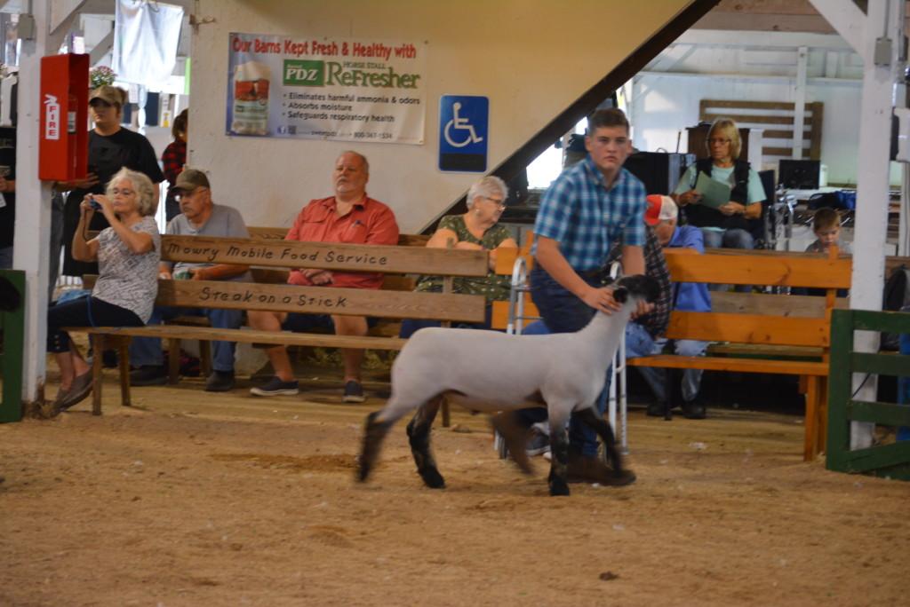 sheep show04