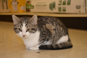 Kitty: Shorty, who is available for adoption through the Coshocton County Animal Shelter, is one of the youngest cats on display at Tractor Supply. Beacon photo by Josie Sellers
